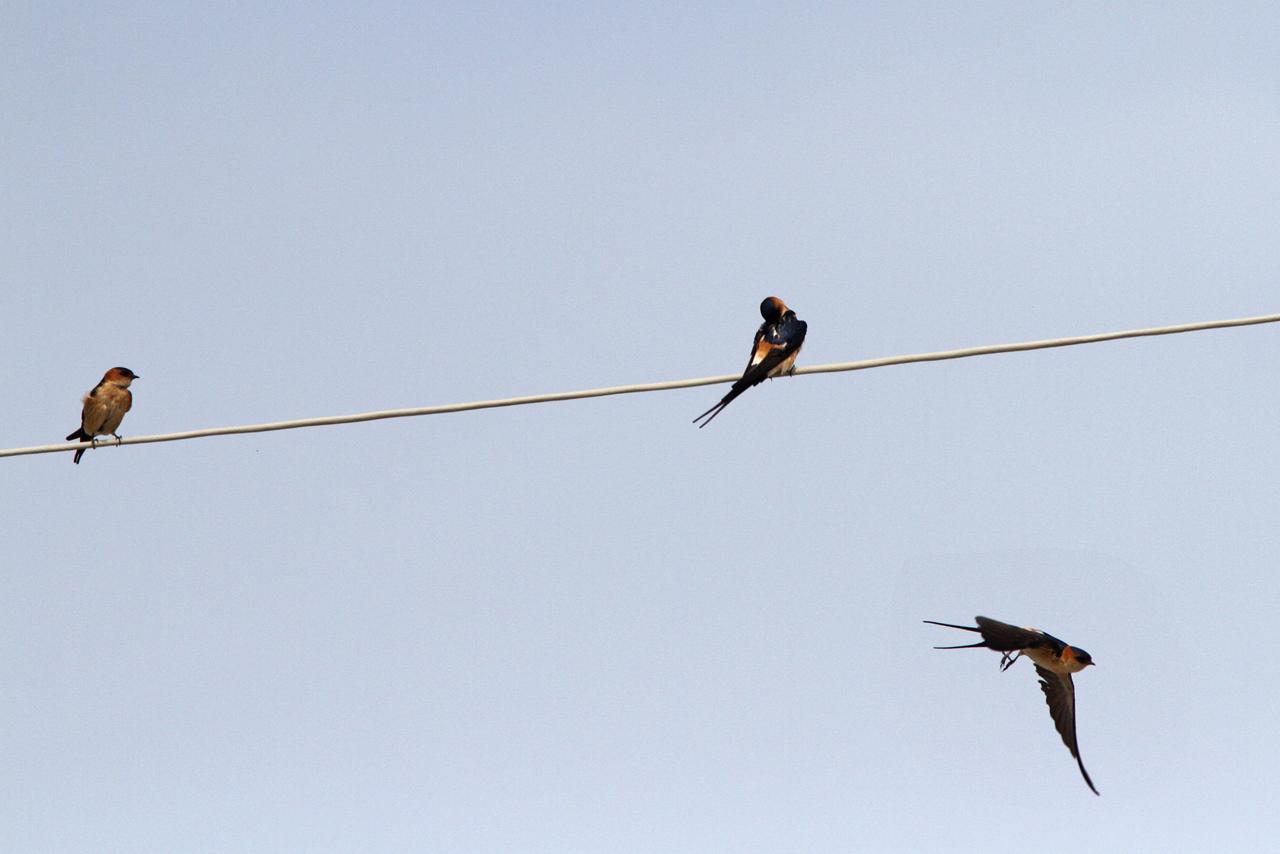 Rostgumpsvala Cecropis daurica Red-rumped Swallow Sigri