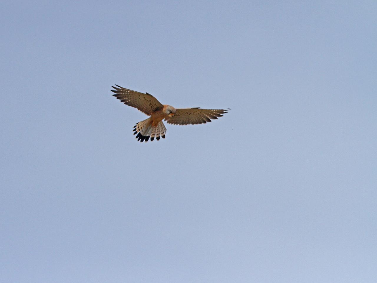 Rödfalk Falco naumanni Lesser Kestrel