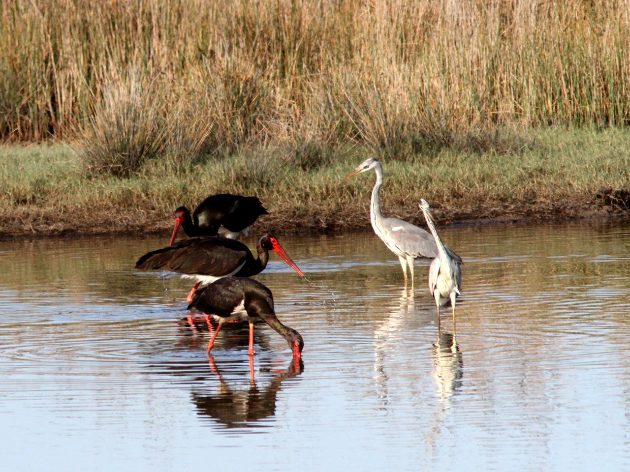 Svart stork Ciconia nigra Black stork, Gråhäger Ardea cinerea Grey Heron