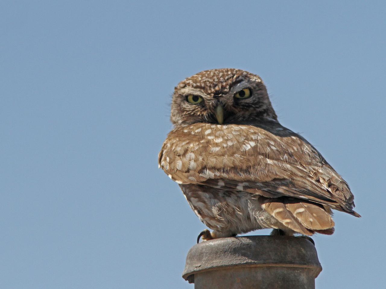 Minervauggla Athene noctua Little Owl