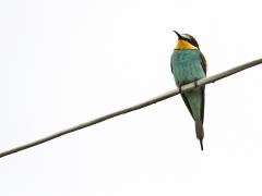 Biätare Merops apiaster European Bee-eater