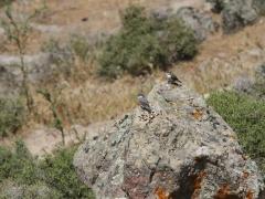 Klippnötväcka Sitta neumayer Western Rock Nuthatch