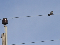 Aftonfalk (Falco vespertinus; Red-footed Falcon). Lesvos.