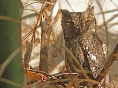 Dvärguv, (Otus scops, Eurasian Scops Owl). Lesvos.
