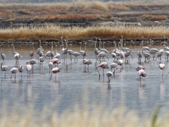 Större flamingo, (Phoenicopterus roseus, Greater Flamingo) Kalloni. Lesvos.