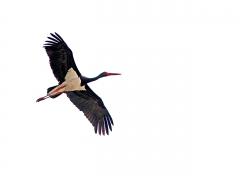 Svart stork (Ciconia nigra, Black Stork) Kalloni. Lesvos.