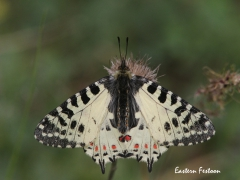 Eastern Festoon  (Zerynthia cerisy).  Lesvos.