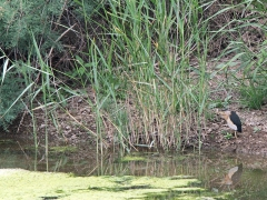 Dvärgrördrom (Ixobrychus minutus, Little Bittern) Metochi Lake.  Lesvos.