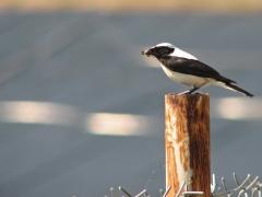 Medelhavsstenskvätta (Oenanthe melanoleuca, Black-eared Wheatear) Potamia reservoir.  Lesvos.