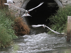 Fisktärna (Sterna hirundo, Common Tern) Kalloni. Lesvos.