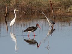 Ägretthäger (Casmerodius  albus, Great Egret), svart stork ( Ciconia nigra, Black Stork), gråhäger( Ardea cinerea, Grey Heron). Lesvos.