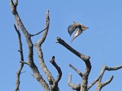 Biätare (Merops apiaster, Eur. Bee-eater). Lesvos.