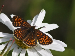 Skogsnätfjäril Melitaea athalia Woodland Brown
