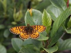 Väddnätfjäril Euphydrias aurinia Marsh Fritillary