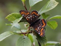 Asknätfjäril Euphydryas maturna Scarce Fritillary