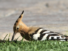 Härfågel Upupa epops Eurasian Hoopoe