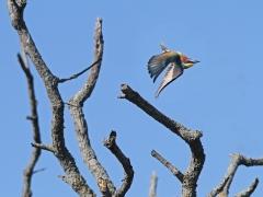 Biätare (Merops apiaster, European Bee-eater) Lesvos, Greece.