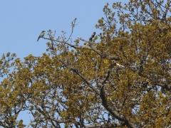 Biätare (Merops apiaster, European Bee-eater) Lundsjön, Ottenbylund, Öland. 202005.
