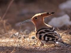 Härfågel Upupa epops Eurasian Hoopoe (Gran Canaria)