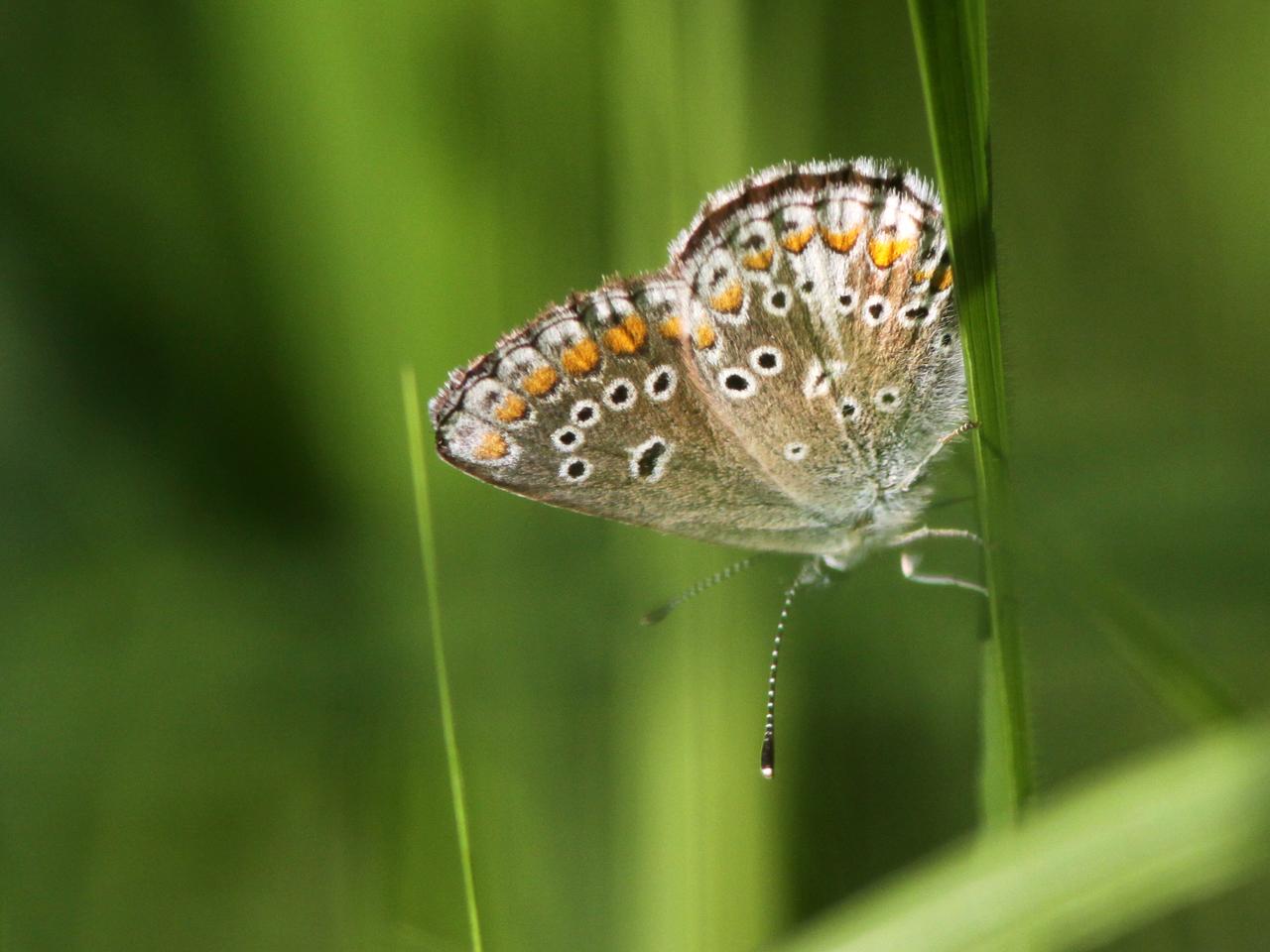 Puktörneblåvinge Polyommatus icarus Common Blue