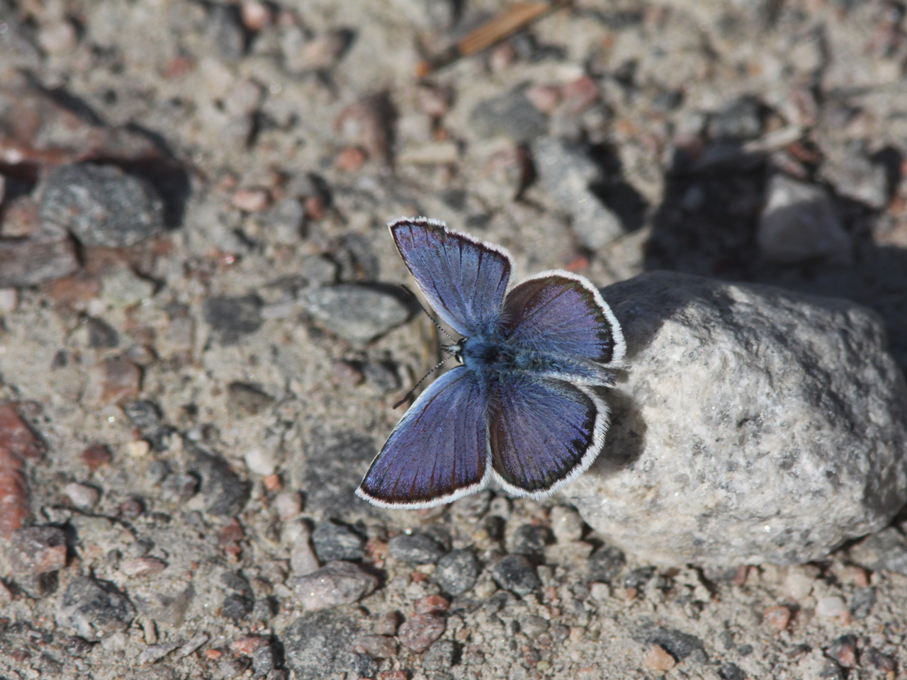 Violett blåvinge Plebejus optilete Cranberry Blue