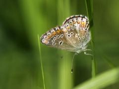 Puktörneblåvinge (Polyommatus icarus, Common Blue) Fjärilsvägen Grinduga, Gävle, Gästrikland.