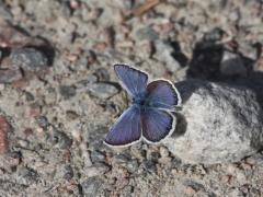Violett blåvinge (Plebejus optilete, Cranberry Blue) Fjärilsvägen Grinduga, Gävle, Gästrikland.