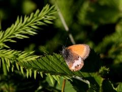 Pärlgräsfjäril (Coenonympha arcania, Pearly Heath) Fjärilsvägen Grinduga, Gävle, Gästrikland.