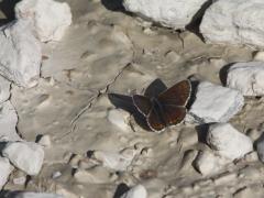 Midsommarblåvinge (Aricia artaxerxes, Northern Brown Argus) Fjärilsvägen, Grinduga, Gävle, Gästrikland.