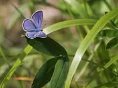 Ängsblåvinge (Cyaniris semiargus, Mazarine Blue) Fjärilsvägen, Grinduga, Gävle, Gästrikland.