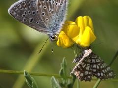 Puktörneblåvinge (Polyommatus icarus, Common Blue) och Rutig buskmätare (Chiasmia clathrata, Latticed Heath) Grinduga, Gstr).