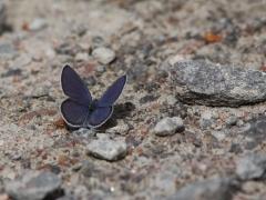 Violett blåvinge (Plebejus optilete, Cranberry Blue) Fjärilsvägen, Grinduga, Gästrikland.