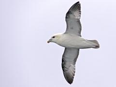 Stormfågel (Fulmarus glacialis, Northern Fulmar).