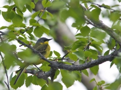 Gulärla (Motacilla flava(thunbergi), Yellow Wagtail. Abisko.