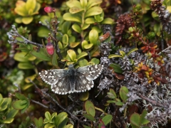 Myrvisslare (Pyrgus centaureae, Northern Grizzled Skipper) Abisko Östra.