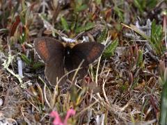 Fjällgräsfjäril (Erebia pandrose, Dewy Ringlet) Abisko.