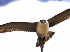 Fjällabb (Stercorarius longicaudus, Long-tailed Skua). Abisko.