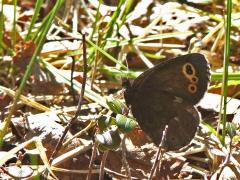 Gulringad gräsfjäril (Erebia embla, Lapland Ringlet)  Vi lyckades i vårt andra försök att hitta den här rara fjärilen. Kurravaara.