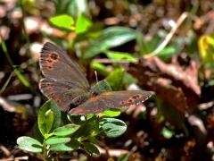 Gulringad gräsfjäril (Erebia embla, Lapland Ringlet) En gräsfjäril som enligt faktaböckerna nästan aldrig visar översidan. Kurravaara.