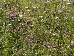 Fjärilsvägen, Grinduga, Gävle, Gästrikland. Omsorgsfullt skötta vägkanter skaper en enorm blomsterprakt och artrikedom.