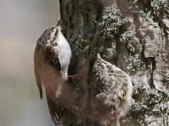 Trädkrypare med unge Eurasian Certhia familiaris Treecreeper Albrunna