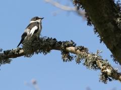 Halsbandsflugsnappare, hane (Ficedula albicollis, Collered Flycatcher) Beijershamn, Öland.