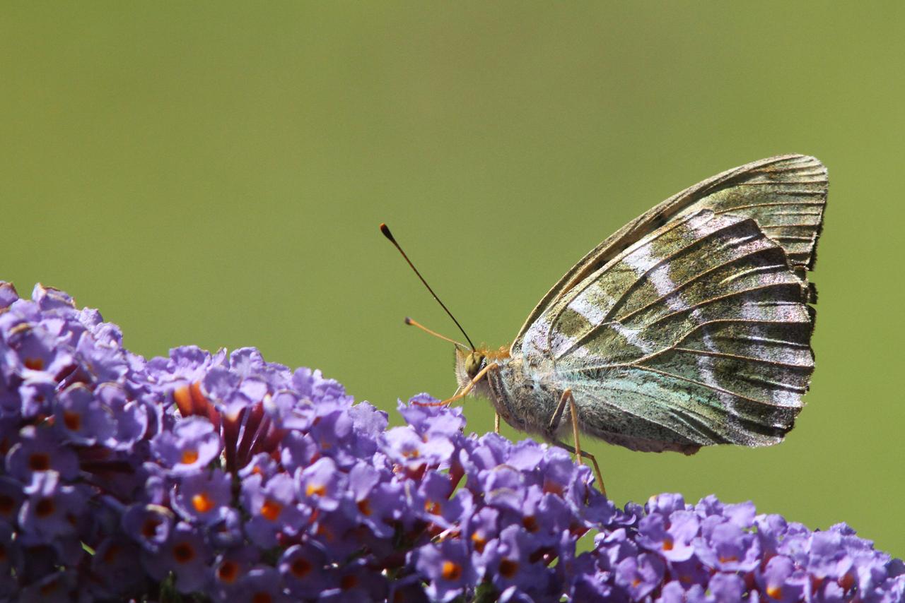 Silverstreckad pärlemorfjäril Argynnis paphia Silver-washed Fritillary