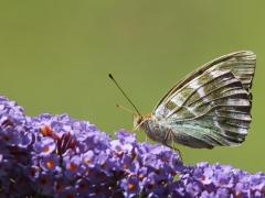 Silverstreckad pärlemorfjäril (Argynnis paphia, Silver-washed Fritillary) Senoren, Ramdala, Bl.