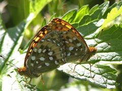 Ängspärlemorfjäril (Argynnis aglaja, Dark Green Fritillary) Grinduga, Gävle, Gstr.