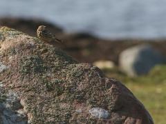 Rödstrupig piplärka (Anthus cervinus, Redthroated Pipit) Torhamns udde, Bl.