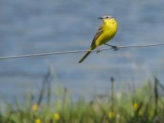 Gulärla (Motacilla flava, Yellow Wagtail) Åhus, Sk.