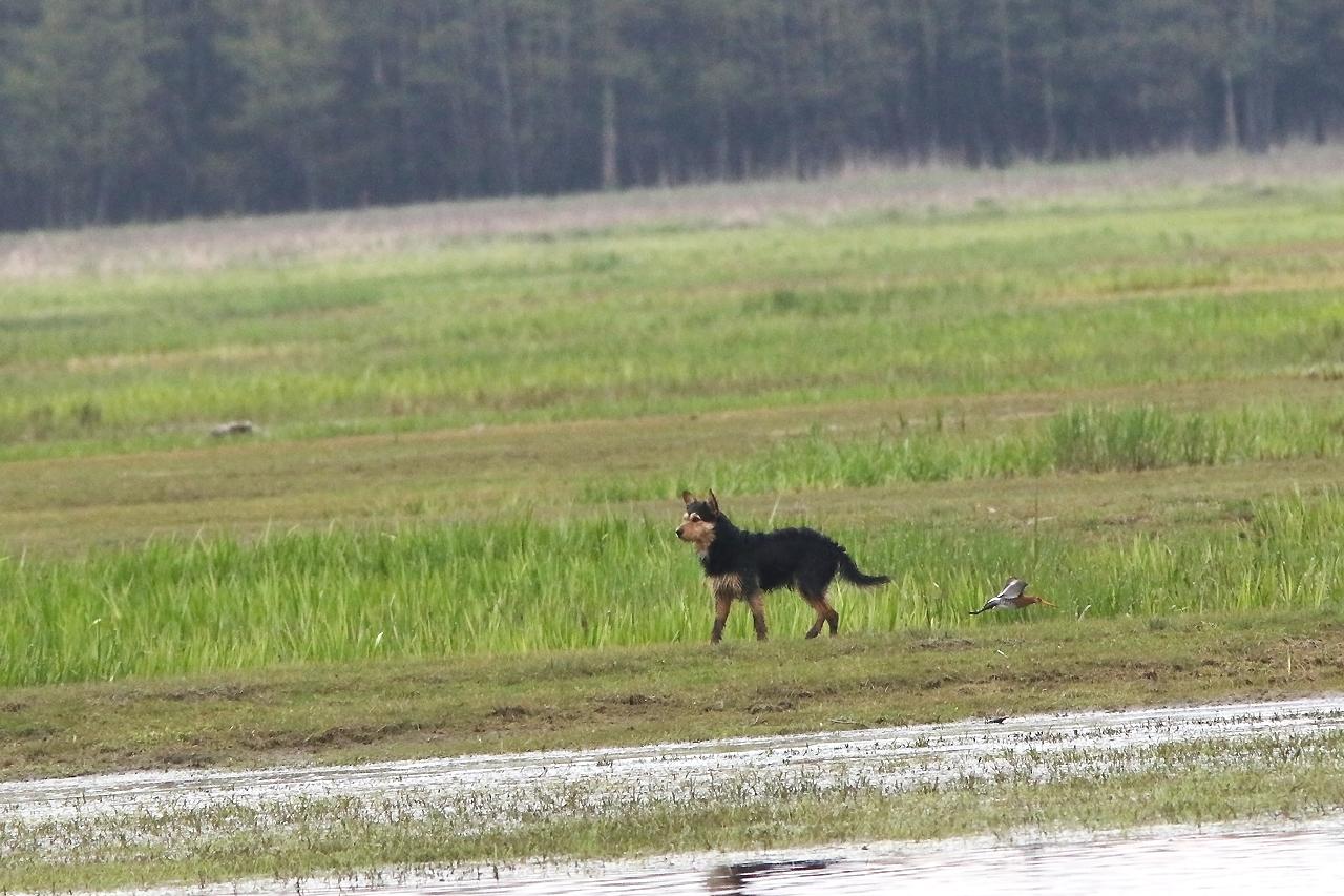 1/5 Jagande hund bland häckande rödspovar och andra vadare vid Laskowiez. En sorglig syn!