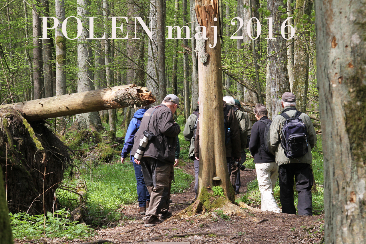 Bialowieza är sedan 1979 utsedd till världsarv av UNESCO och ingår i EU:s Natura 2000-område. Det är en återstående del av den urskog som en gång täckte det europeiska låglandet.
