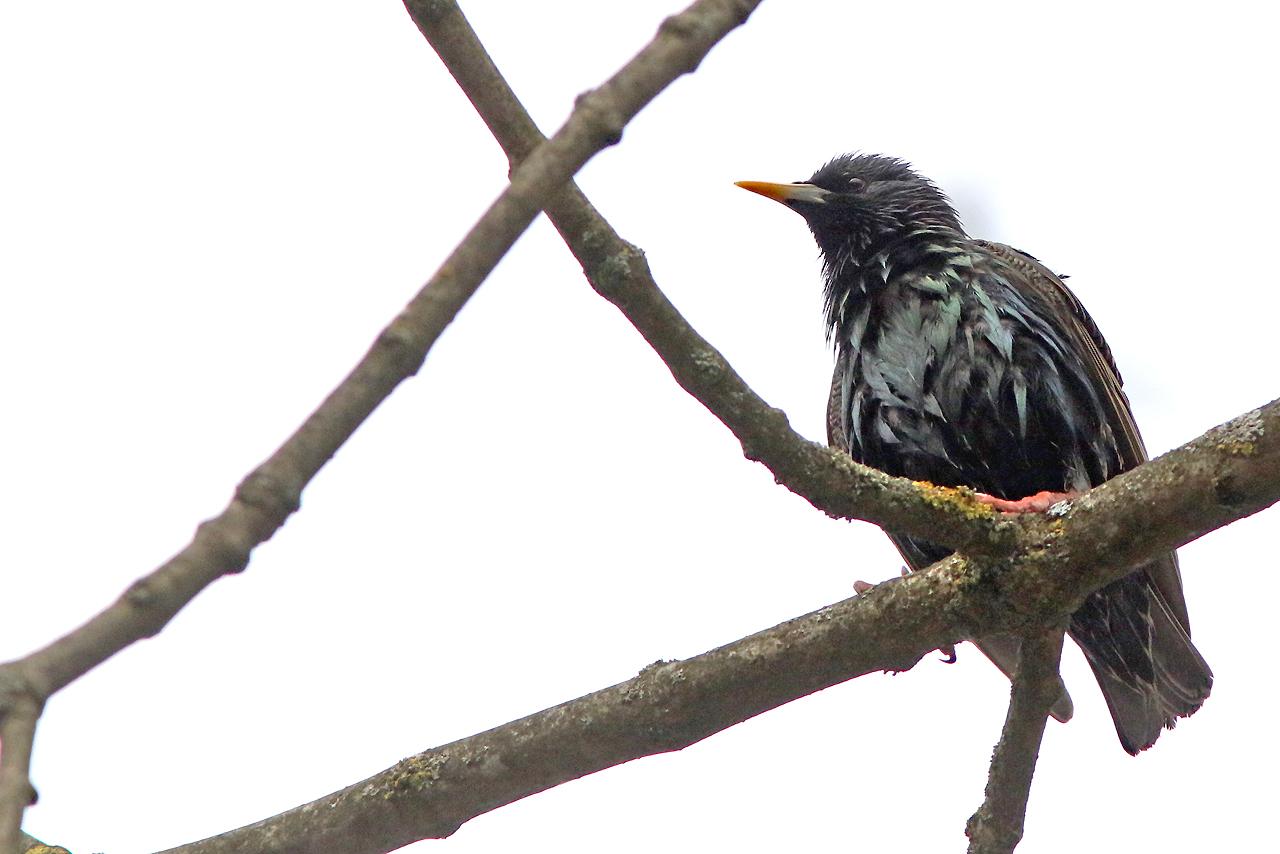3/5 Stare Sturnus vulgaris (Common Starling) i Bialowieza.